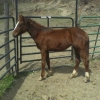holly(quarter horse filly 1 yr old)