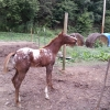 <p>6 MONTH OLD APPALOOSA COLT</p>