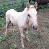 <p>6 MONTH OLD TENNESSEE WALKING FILLY</p>
